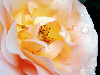 Pastel Rose Art Print