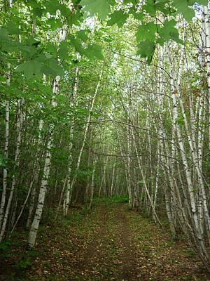 Path Of Birches Print by Pamela Turner