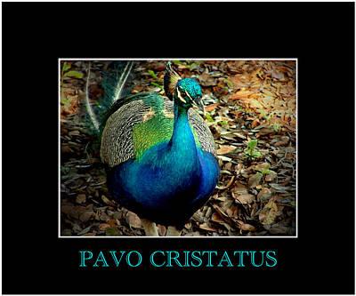 Photograph - Pavo Cristatus by David Weeks