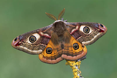 Photograph - Pavonia Emperor Moth   by Thomas Marent