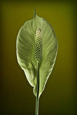 Photograph - Peace Lilly by Ron Morecraft