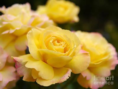 Peace Rose 2 Original