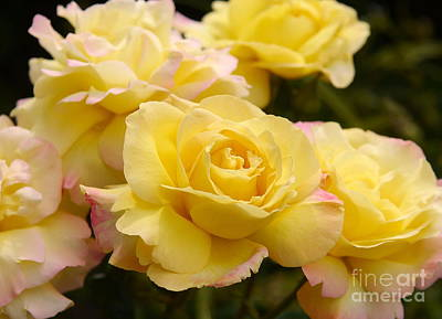 Peace Rose Cluster Original