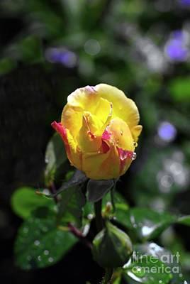 Peace Rose Original