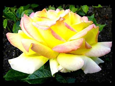 Photograph - Peace Rose- Okanagan Valley by Will Borden