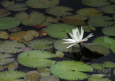 Photograph - Peaceful Water Lily by Sabrina L Ryan