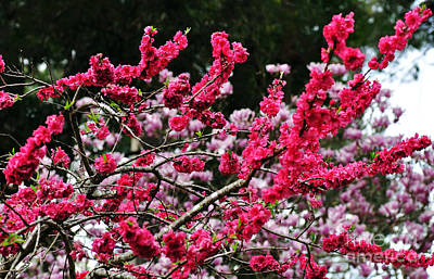 Peach Blossom Art Print by Kaye Menner