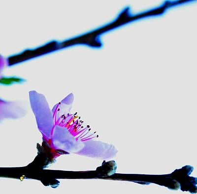 Photograph - Peach Blossom by Puzzles Shum