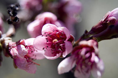 Photograph - Peach Blossoms by Ellen Heaverlo