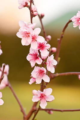 Photograph - Peach Blossoms by Michelle Wrighton