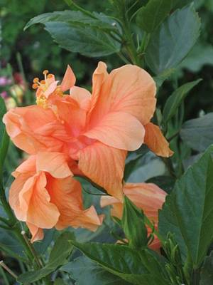 Photograph - Peach Hibiscus  by Deb Martin-Webster