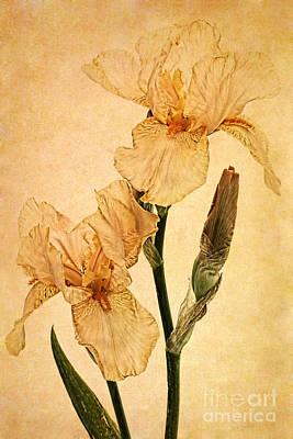 Peach Iris Germanica Art Print