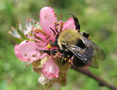 Photograph - Peach Pollen by Stephen Hawks