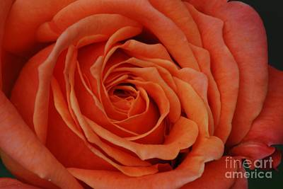 Peach Rose Close-up Art Print