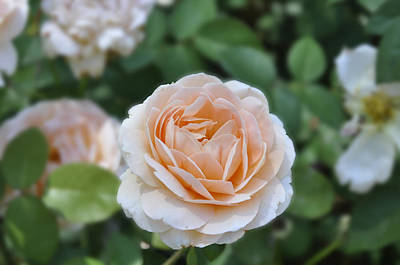 Photograph - Peach Rose by Helen Haw