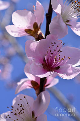 Peach Tree Photograph - Peach Tree Blossom Blue Sky by Thomas R Fletcher