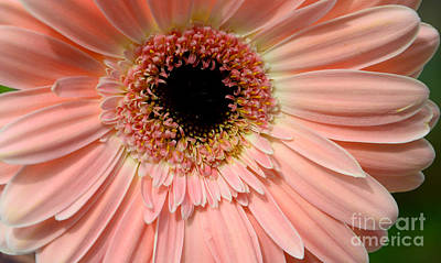 Photograph - Peachy Gerbera by Jim And Emily Bush