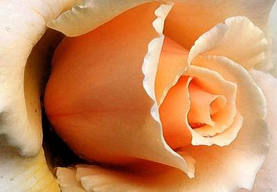 Digital Art - Peachy Rose by Carrie OBrien Sibley