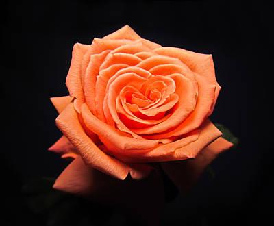 Photograph - Peachy Rose by Eva Kondzialkiewicz