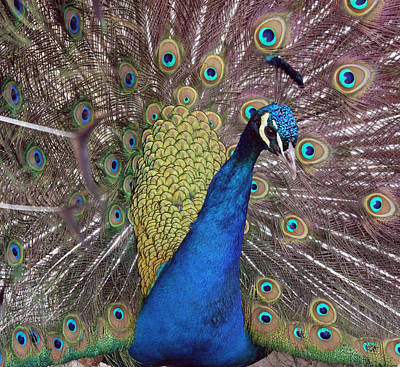 Photograph - Peacock - 0011 by S and S Photo