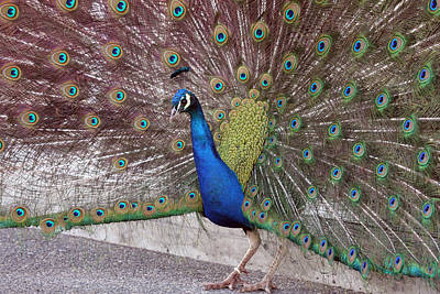 Photograph - Peacock - 0013 by S and S Photo