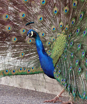 Photograph - Peacock - 0014 by S and S Photo
