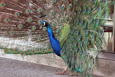 Photograph - Peacock - 0015 by S and S Photo
