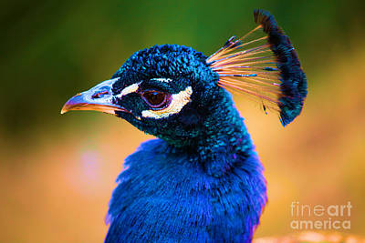 Photograph - Peacock Blue by Adam Jewell