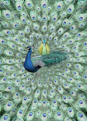 Photograph - Peacock Card by John Neville Cohen