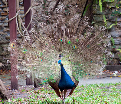 Peacock Display Art Print by Kenneth Albin