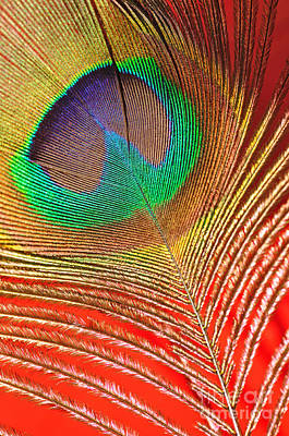 Photograph - Peacock Feather 2 by Kaye Menner
