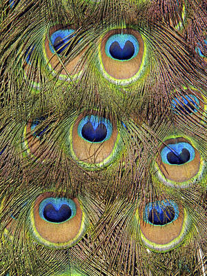 Photograph - Peacock Feather Eyes by Frank Wilson