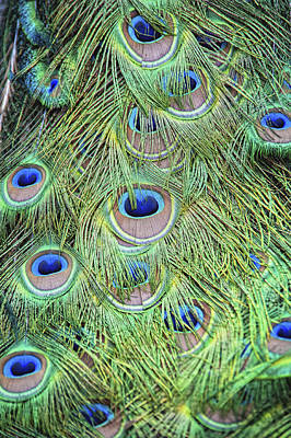Peacock Feathers Art Print by Jen Morrison