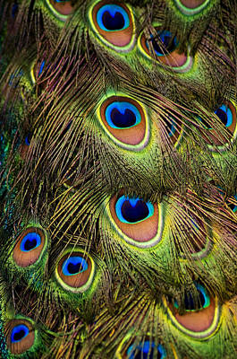 Peacock Feathers Art Print by Navid Baraty / Getty Images