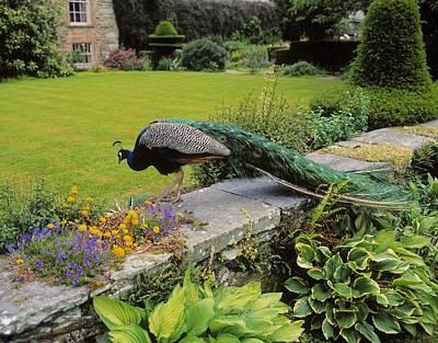 Down In The Garden Photograph - Peacock In Formal Garden, Kilmokea, Co by The Irish Image Collection
