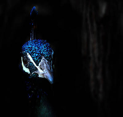Photograph - Peacock In The Dark by Radoslav Nedelchev