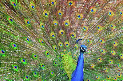 Part Of Photograph - Peacock by Jeff R Clow