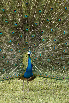 Photograph - Peacock On Display by Michele Burgess