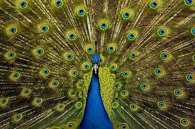 Beautifull Photograph - Peacock Pavo Cristatus Displaying Tail by Paul D Stewart