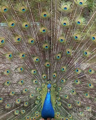 Photograph - Peacock Perfection by Scenesational Photos