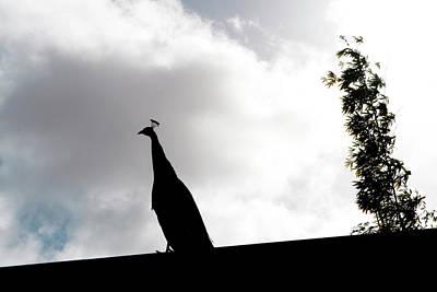 Photograph - Peacock Sentry by Lorraine Devon Wilke