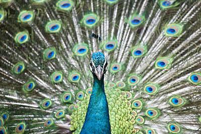 Y120817 Photograph - Peacock by Shui Ta Shan