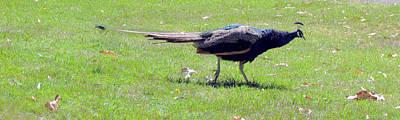 Photograph - Peacock Striding by Bonnie Muir