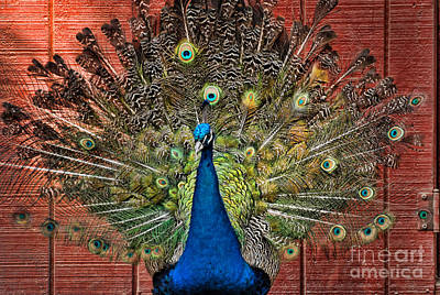 Peacock Tails Art Print