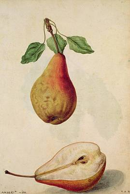 Pears Painting - Pear   Pyrus Communis by J le Moyne de Morgues