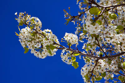 Spring Branch Photograph - Pear Spring by Chad Dutson