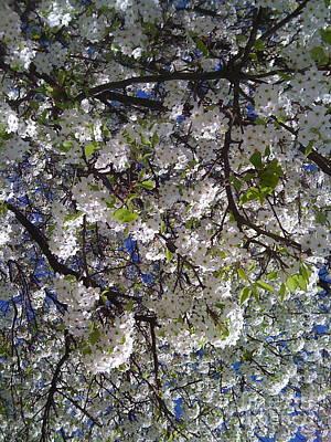 Photograph - Pear Tree Blossoms by Barbara Plattenburg