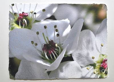 Pear Tree Mixed Media - Pear Tree Blossoms  by Gail Fischer