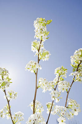 Y120831 Photograph - Pear Tree In Spring by Blue Line Pictures