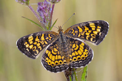 Pearl Crescent Butterfly On Wildflowers Art Print by Bonnie Barry